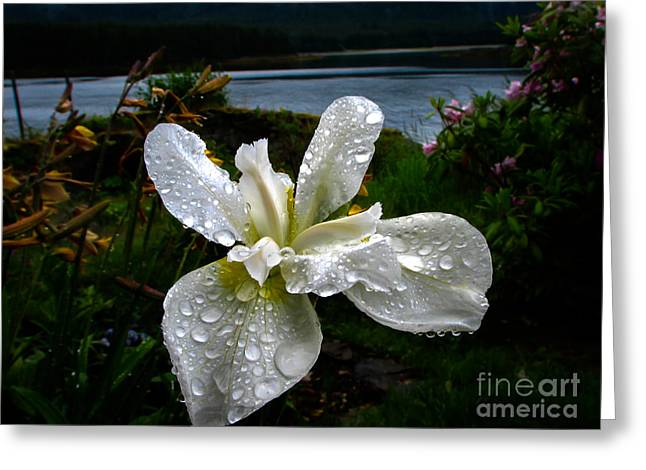 Family Time Greeting Cards - White Iris Greeting Card by Robert Bales