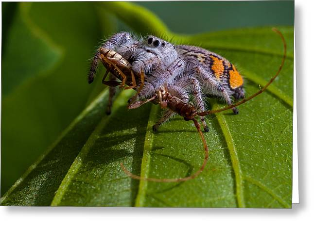 White Jumping Spider With Prey Greeting Card by Craig Lapsley