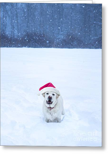 Labrador Retriever Photographs Greeting Cards - White Lab Christmas Greeting Card by Diane Diederich
