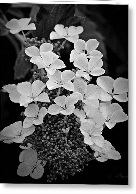 Lacecap Greeting Cards - White Lacecap Hydrangea Greeting Card by Patricia Strand