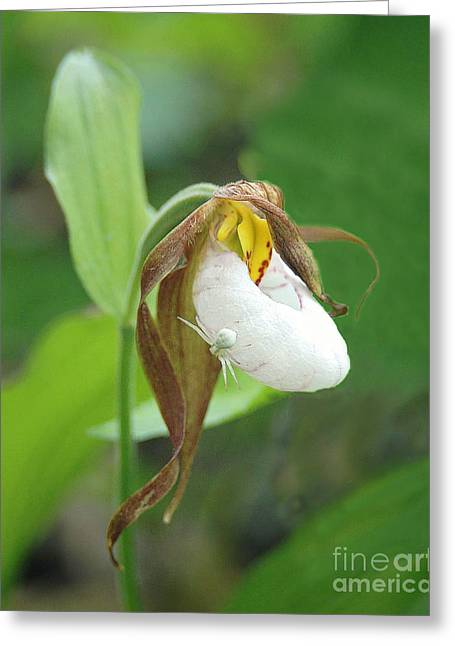 Candidum Greeting Cards - White Lady Slipper with Spider Greeting Card by Timothy Flanigan