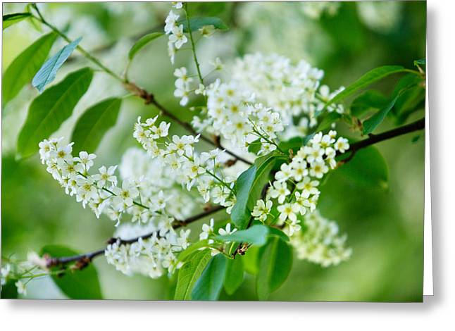 White Flower Photographs Greeting Cards - White Lilac Greeting Card by Nailia Schwarz