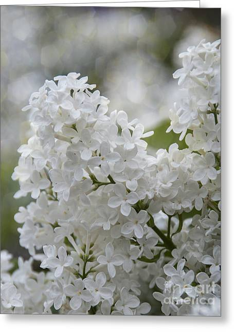 Vulgaris Greeting Cards - White Lilacs in Bloom Greeting Card by Juli Scalzi