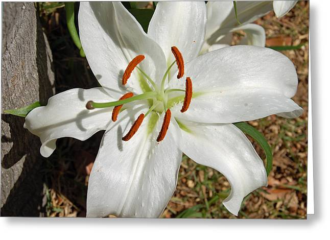 White Lily Greeting Card by Aimee L Maher Photography and Art Visit ALMGallerydotcom