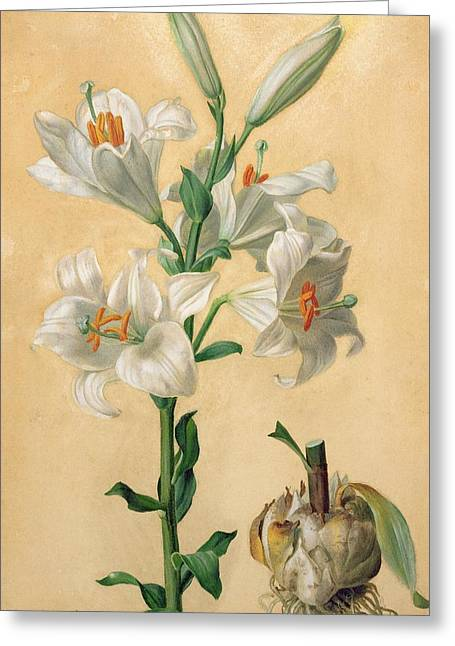 Candidum Greeting Cards - White Lily Greeting Card by Carl Franz Gruber
