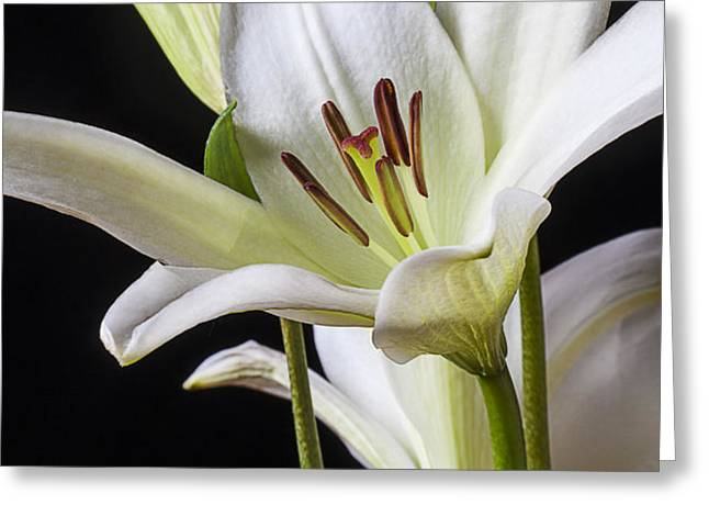 White Lily Greeting Card by Garry Gay