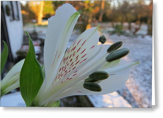 Candidum Greeting Cards - White Lily Greeting Card by B Vesseur