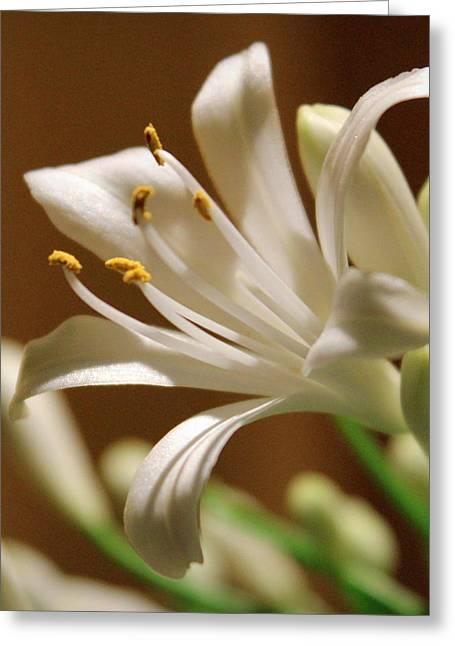 Nile Lily Greeting Cards - White Lily Greeting Card by Joseph Skompski