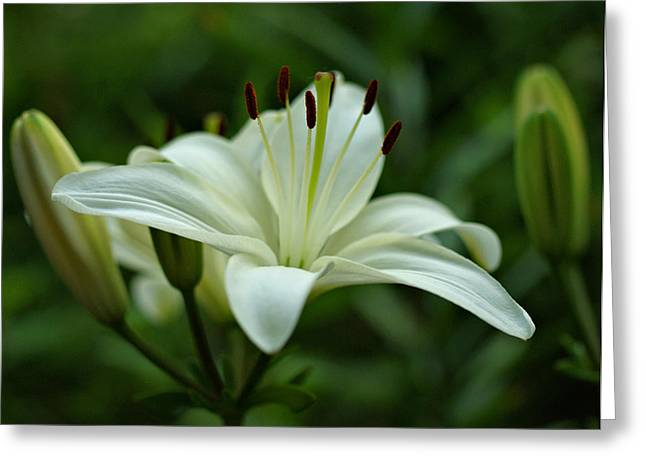 Whilte Flower Greeting Cards - White Lily Greeting Card by Sandy Keeton