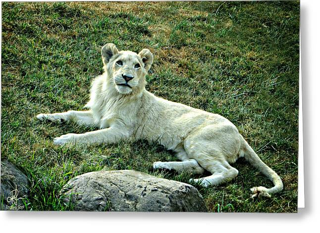 Lioness Greeting Cards - White Lioness Greeting Card by Pennie  McCracken