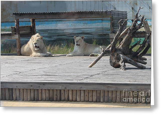 Observer Greeting Cards - White lions Greeting Card by Evgeny Pisarev