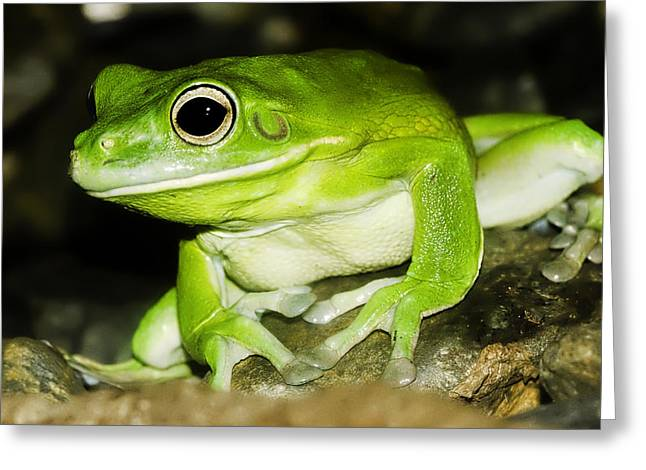 Amphibians Greeting Cards - White-lipped Tree Frog Greeting Card by Mr Bennett Kent