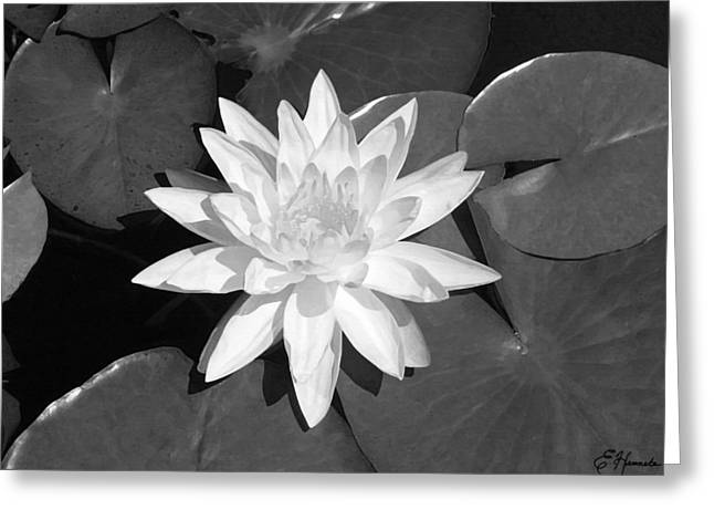 Pads Paintings Greeting Cards - White Lotus 2 Greeting Card by Ellen Henneke