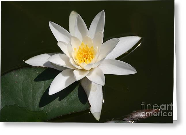 Waterlily Stamen Greeting Cards - White Lotus Greeting Card by Christiane Schulze Art And Photography