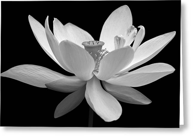 Close-up Greeting Cards - White Lotus Greeting Card by Dawn Currie