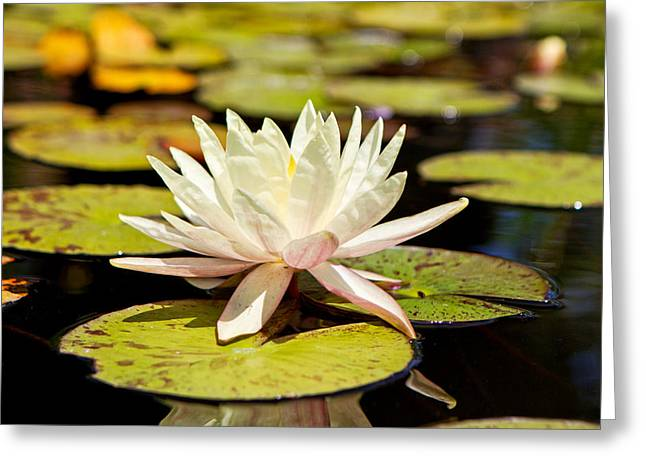 Pond Photographs Greeting Cards - White Lotus Flower in Lily Pond Greeting Card by Susan  Schmitz