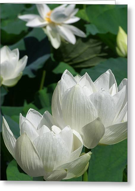 Lotus Full Bloom Greeting Cards - White Lotus Greeting Card by Larry Knipfing