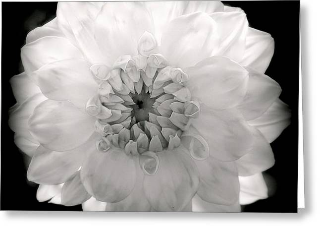 Dinnerplate Dahlias Greeting Cards - White Magic Greeting Card by Karen Wiles