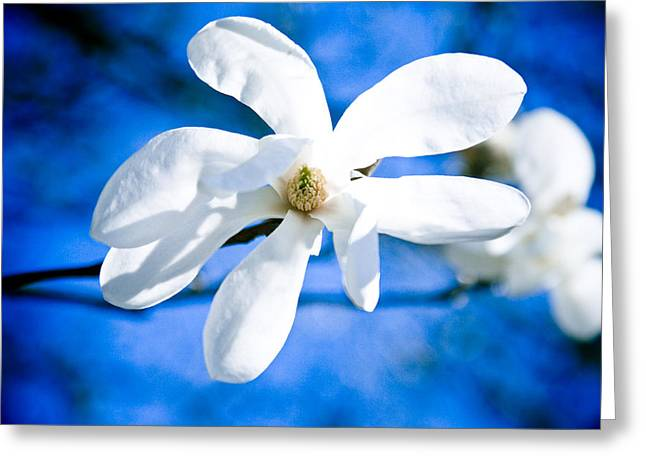 Close Focus Nature Scene Greeting Cards - White Magnolia Blossom Greeting Card by Raimond Klavins