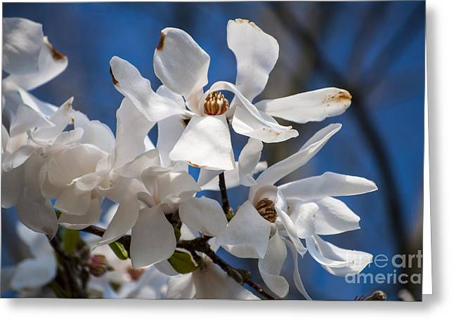 Silverton Greeting Cards - White Magnolia Blossoms Greeting Card by Mandy Judson
