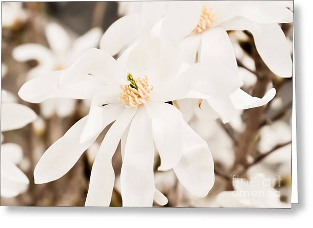 Flower Blossom Greeting Cards - White Magnolia flowers Greeting Card by Christina Rahm