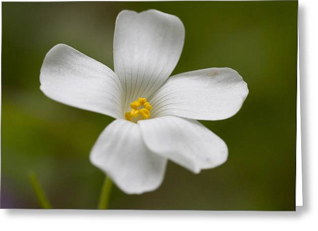 Flovers Greeting Cards - White mini clover flower Greeting Card by Chris Mark Rembold