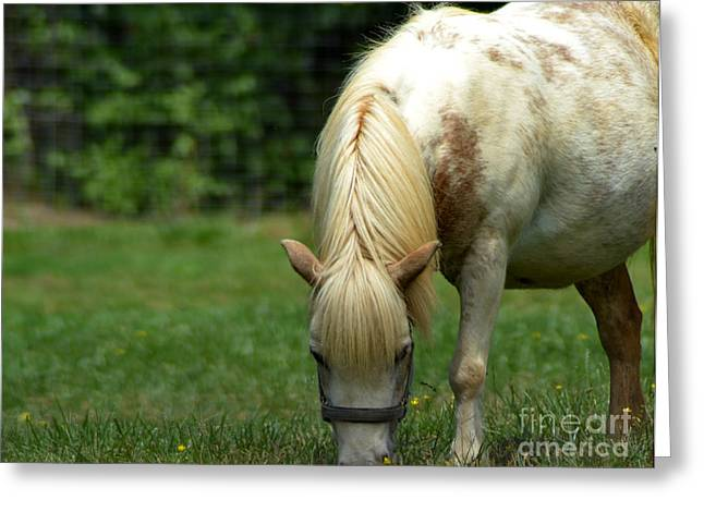 Whiteoak50 Greeting Cards - White Miniature Horse Greeting Card by Eva Thomas