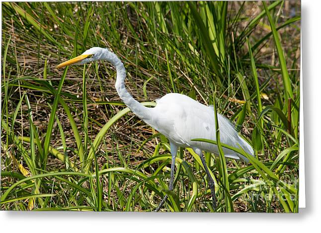 Morph Greeting Cards - White  Morph Great Blue Heron Greeting Card by Carol Ailles
