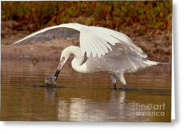 Morph Greeting Cards - White Morph of the Reddish Egret Greeting Card by Myrna Bradshaw