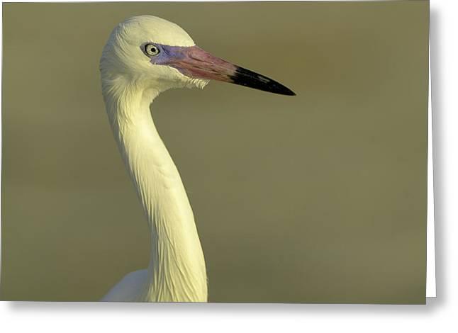 Morph Greeting Cards - White morph reddish egret Greeting Card by Allan Rube