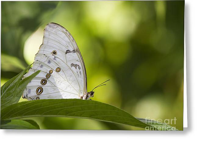 Greek Butterflies Greeting Cards - White Morpho   Greeting Card by Anne Rodkin