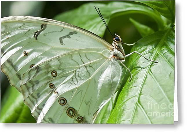Joann Copeland-paul Greeting Cards - White Morpho Butterfly Greeting Card by Joann Copeland-Paul
