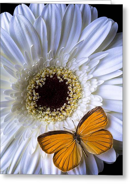 White Photographs Greeting Cards - White mum with orange butterfly Greeting Card by Garry Gay