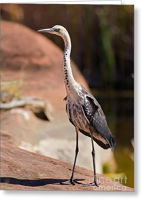 Australia Wildlife Greeting Cards - White Neck Heron Greeting Card by Bill  Robinson