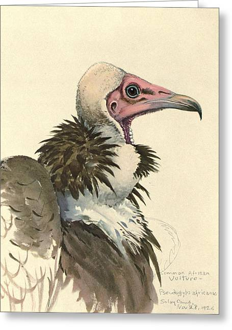 1874 Greeting Cards - White Necked Vulture Greeting Card by Louis Agassiz Fuertes
