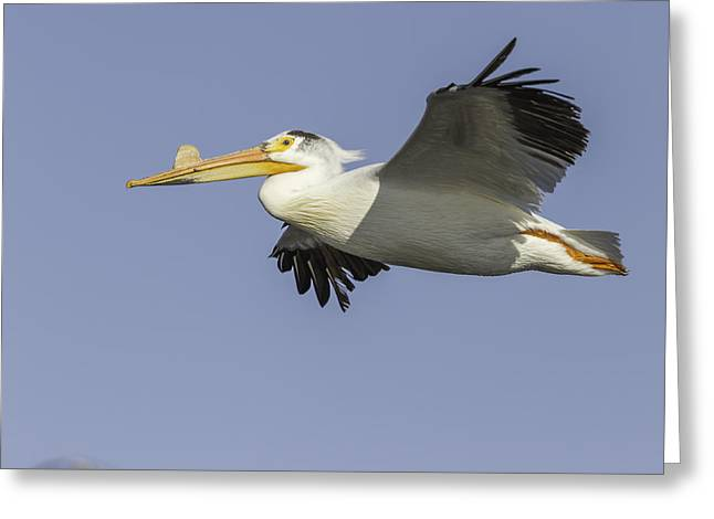 Flying White Pelicans Greeting Cards - White Night Greeting Card by Thomas Young