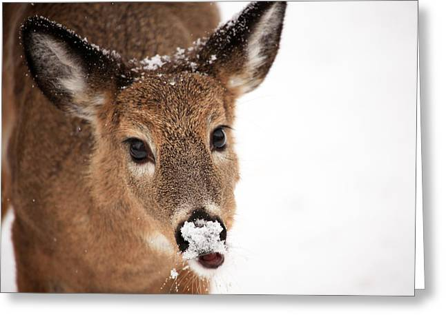 Deer In Snow Greeting Cards - White On The Nose Greeting Card by Karol  Livote