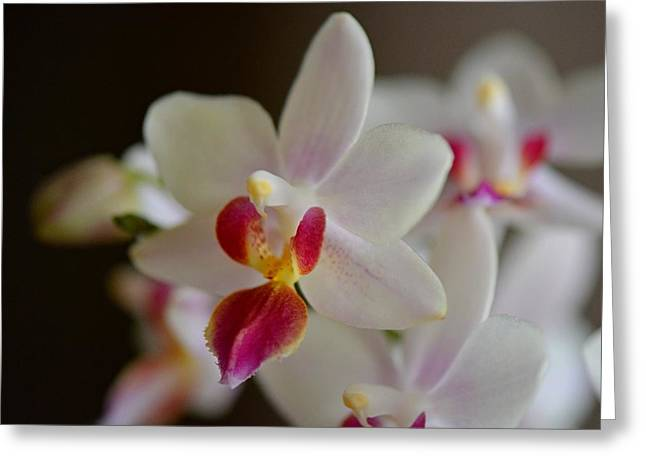 Phalenopsis Greeting Cards - White Orchid Close Greeting Card by Lena Kouneva