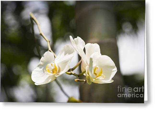 Flowers Miami Greeting Cards - White Orchid Greeting Card by Juan  Silva