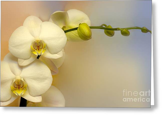 Pale Colors Greeting Cards - White Orchid Greeting Card by Lutz Baar