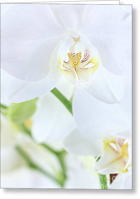 Phalaenopsis Orchid Greeting Cards - White Orchid Greeting Card by Stephanie Frey