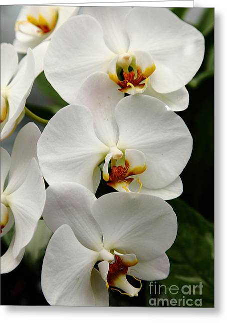 Perrenials Greeting Cards - White Orchids 5D22429 Greeting Card by Wingsdomain Art and Photography