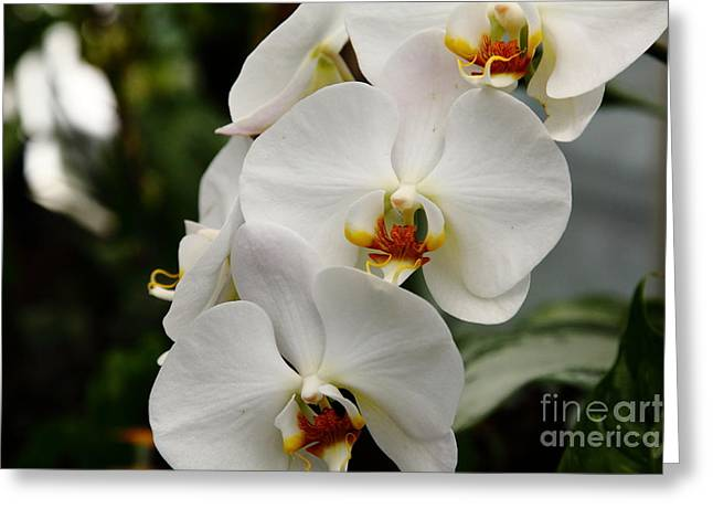 Perrenials Greeting Cards - White Orchids 5D22437 Greeting Card by Wingsdomain Art and Photography