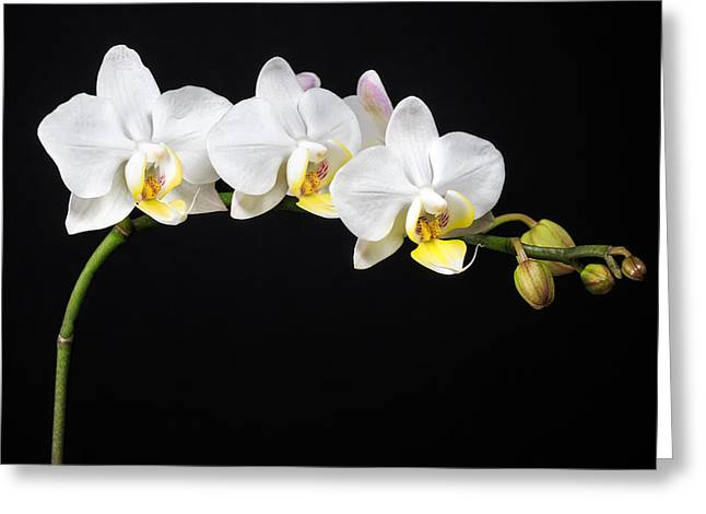 White Orchids Greeting Card by Adam Romanowicz