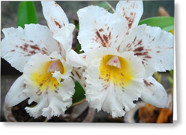 Kula Greeting Cards - White Orchids Greeting Card by Amy Fose
