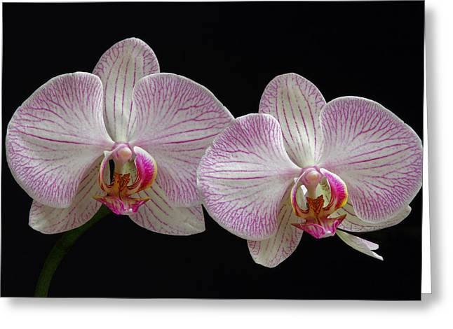 Orchid Canvas Greeting Cards - White Orchids Greeting Card by Juergen Roth
