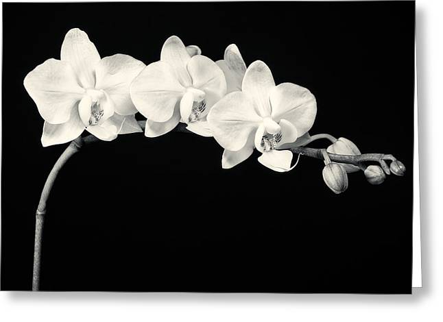Interior Design Photos Greeting Cards - White Orchids Monochrome Greeting Card by Adam Romanowicz