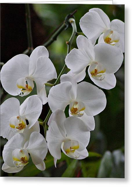 Orchids Art Greeting Cards - White Orchids Greeting Card by Sandy Keeton
