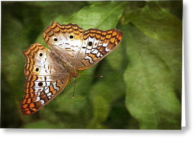 Jacksonville Greeting Cards - White Peacock Butterfly Greeting Card by Dawn Currie