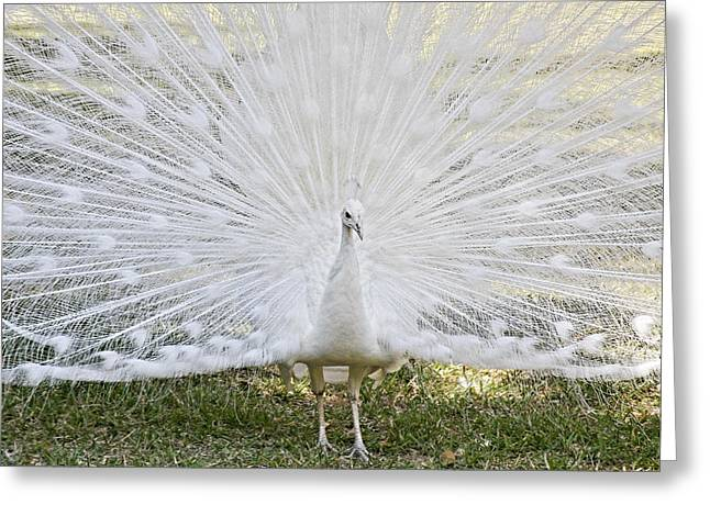 Fauna Greeting Cards - White Peacock - Fountain of Youth Greeting Card by Christine Till